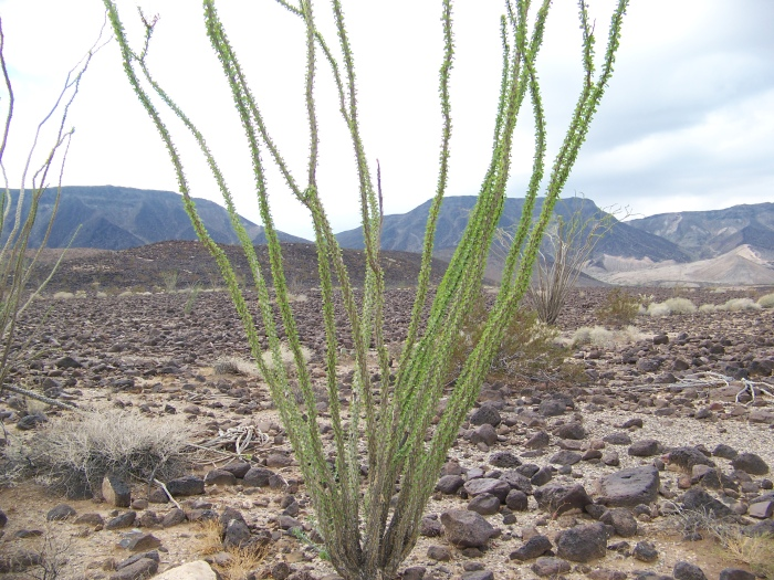 The leaves are popping on the ocotillo
