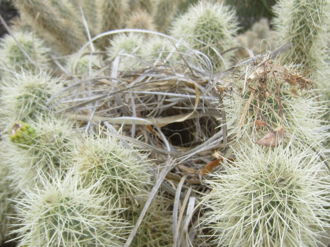 Bird's Nest in Cholla