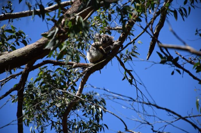 Our First Koala!